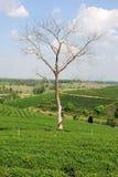 Boom zonder bladeren op een heuvel van theeaanplanting Royalty-vrije Stock Afbeelding