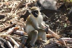 Boomaap in St Kitts de Oostelijke Caraïben stock afbeelding