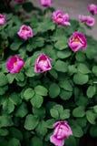 Boomachtige roze pioen stock fotografie