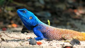 Boomagama - acanthocerusatricollis royalty-vrije stock afbeelding