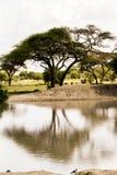 Boombezinning in het Nationale Park van Tarangire, Stock Afbeeldingen