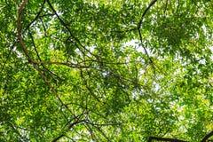 Boombladeren die verstrekkend schaduw uitspreiden zich Stock Fotografie