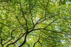 Boombladeren die verstrekkend schaduw uitspreiden zich Royalty-vrije Stock Fotografie