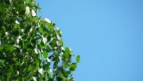 Boombladeren op de Blauwe Hemelachtergrond stock videobeelden