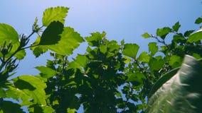 Boombladeren tegen de blauwe hemel stock videobeelden