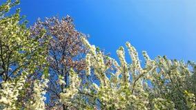 Boombloemen die in de lente bloeien stock videobeelden