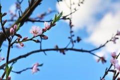 boombloesems op zonnige de lentedag Royalty-vrije Stock Afbeeldingen