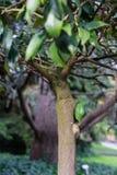 Boomboomstam met bladeren van rutaceae ovale kumquat van fortunellamargarita van China Royalty-vrije Stock Afbeeldingen
