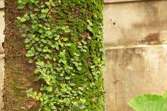 Boomboomstam met mossen en wijnstokken Royalty-vrije Stock Foto's