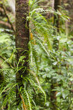 Boomboomstam met varens die in regenwoud groeien Stock Fotografie
