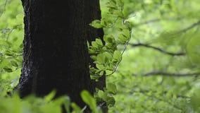Boomboomstam onder groene bladeren in de bergwind stock videobeelden
