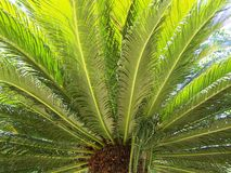 Boomboomstam & x28; palm tree& x29; Stock Afbeelding