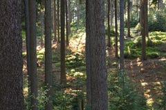 Boomboomstammen in bos Stock Afbeelding