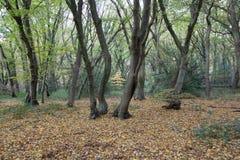 Boomboomstammen en naakte takken, diep in het bos in de herfst Stock Afbeelding
