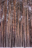 Boombos bij de lente, grote achtergrond Stock Afbeeldingen