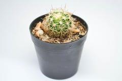Boomcactus Royalty-vrije Stock Foto