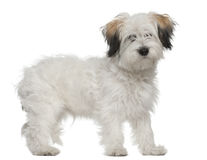 Boomer, 6 months old, standing in front of white Royalty Free Stock Photo