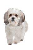 Boomer dog Royalty Free Stock Photos