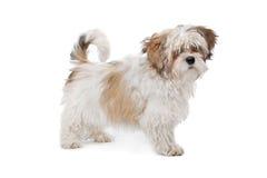 Boomer dog Royalty Free Stock Photo