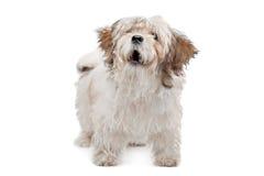 Boomer dog Stock Photo