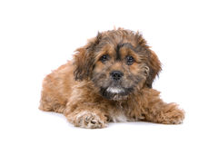 Boomer puppy Stock Images