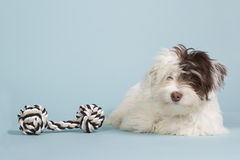 Boomer puppy with a dog toy. Cute boomer puppy with a dog toy on a blue background Royalty Free Stock Photos