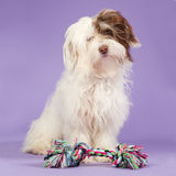 Boomer puppy on a purple background Stock Photo