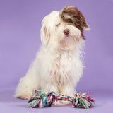 Boomer puppy on a purple background. Boomer puppy with a coloured toy on a purple background Stock Photo