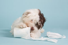 Boomer puppy with toilet paper. Boomer puppy playing with toilet paper on a light blue background Royalty Free Stock Photos