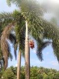 Boomfruit Royalty-vrije Stock Fotografie
