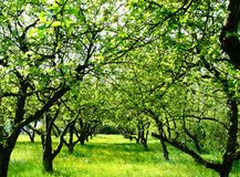 boomgaard stock afbeelding