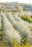 Boomgaard in de lente Stock Afbeelding