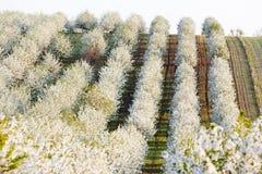 Boomgaard in de lente Stock Foto's