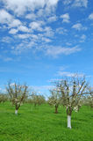 Boomgaard in de lente Stock Foto