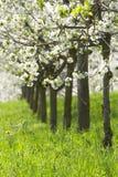 Boomgaard - de lentebomen Royalty-vrije Stock Foto's