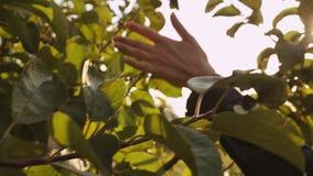 Boomgaard in de stralen van de zomerzonneschijn Sluit omhoog stock footage