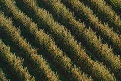 Boomgaard met appelbomen met rode appelen in de herfst Stock Afbeelding