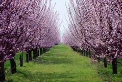 Boomgaard met bloeiende bomen Royalty-vrije Stock Fotografie