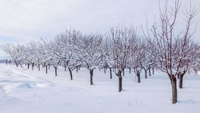 Boomgaard met sneeuw in de winter wordt behandeld die stock foto's