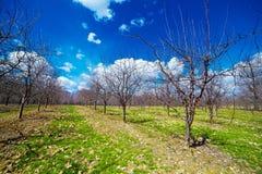 Boomgaard van jonge appelbomen Royalty-vrije Stock Foto's