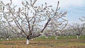 Boomgaard van kersenbomen stock footage