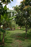 Boomgaard - Zuid-Vietnam Royalty-vrije Stock Foto