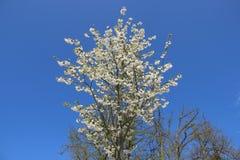 boomgaarden Sakura Flowers Blooming With Budding-Installatie royalty-vrije stock afbeelding