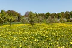 Boomgaardhoogtepunt met een weidehoogtepunt van paardebloemen in de lente stock afbeelding