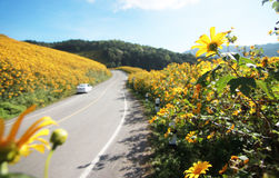 Boomgoudsbloem, Mexicaanse zonnebloem in het noorden van Thailand Stock Fotografie