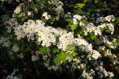 Boomhoogtepunt van de bloemen, Nezamyslice, Moravië, Tsjechische Rebublic Stock Afbeelding