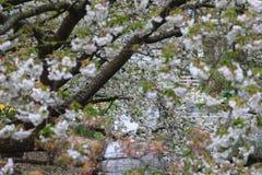 Boomhoogtepunt van witte bloesems Stock Foto's