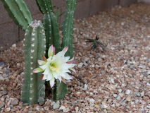 Booming Arizona most popular garden cactus without thorns Royalty Free Stock Image
