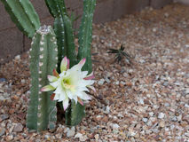 Booming Arizona most popular garden cactus without thorns Royalty Free Stock Photo