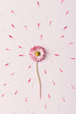 Booming daisy flower. Royalty Free Stock Images